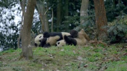 最美中国 第一季 呆萌大熊猫有多可爱,胖乎乎圆滚滚的身材,分分钟把心萌翻