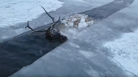 一只鹿不幸掉入河中被冻住, 男子好心救援, 然后生起了火