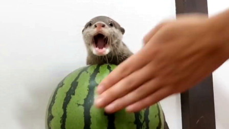 主人买了个西瓜, 谁知小水獭据为己有, 主人碰一下都不行!