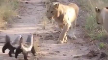 当平头哥蜜獾遇上狮子