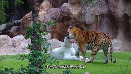动物园里, 没了王字的白老虎, 你猜它能打吗?