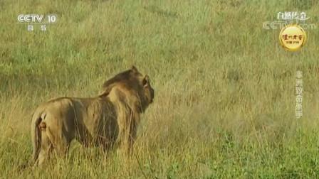 """自然传奇: 两头狮子合伙干掉非洲野牛, 无限接近对手下手, 真是""""致命"""""""