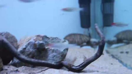 巨头麝香龟巨头蛋龟鱼缸饲养教学视频 造景参考龟谷鳖老