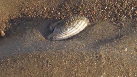 八哥海边赶海, 发现海参漂亮的贝壳, 还有好多叫不上名字的蛤蜊?