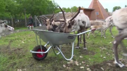 萨米人养殖的是驯鹿北欧亚种, 雌鹿雄鹿都有角!