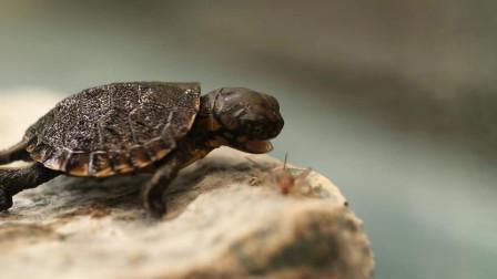 出壳没多久的小乌龟, 戏水玩闹捕小虫, 很萌很可爱