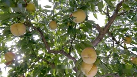 中国原生水果水蜜桃,女人常吃可以改善皮肤变女神
