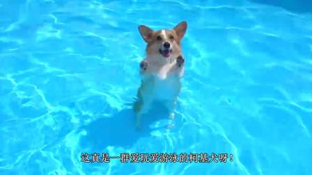 萌宠柯基犬的水上乐园, 滑滑梯, 学游泳! 姿势多得让你想不到