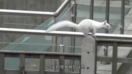 难得一见的雪白色松鼠, 遇到松果是什么样子的? 快来看看, 真是太可爱了