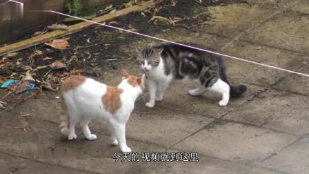 用眼神打架的花猫, 看看他们怎么做? 真是成精了, 网友都惊呆了!