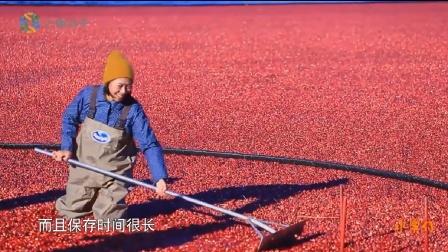 水果传 第一季 蔓越莓北美秋天最招摇的水果,把中国女孩都给去啦