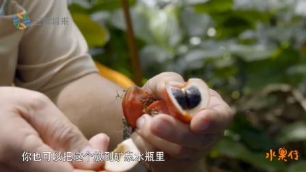 水果传 第一季 非洲竹芋,它的果肉含糖量非常高,最高能达到蔗糖的3000倍
