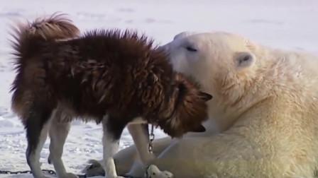 北极熊被狗狗追咬, 尊严哪里去了? 北极熊: 你凶你有理!