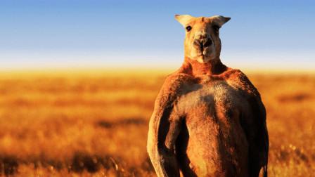 袋鼠因模仿施瓦辛格走红, 身高2米胸肌发达, 能一