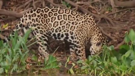 豹子捕食鳄鱼, 一口咬住鳄鱼脖子, 镜头拍下全过程