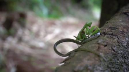 螳螂是一种常见的益虫, 战斗力却非常强, 能把毒蛇当辣条吃