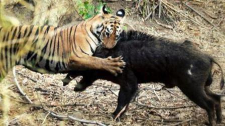巨型野猪对决老虎, 镜头记录全过程, 谁会惨败?