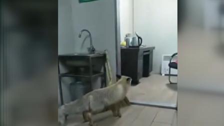 奇闻! 可爱狐狸敲门讨食拍照还会龇牙
