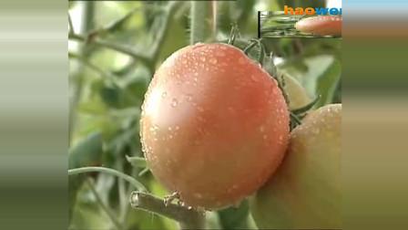 番茄花果促控技术