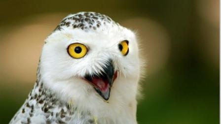 """老人说, """"不怕猫头鹰叫, 就怕猫头鹰笑"""", 有这么玄乎?"""
