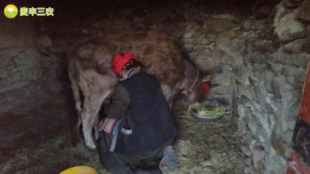 实拍农村人挤牛奶的过程, 收获还不错, 屋外的风景也很美