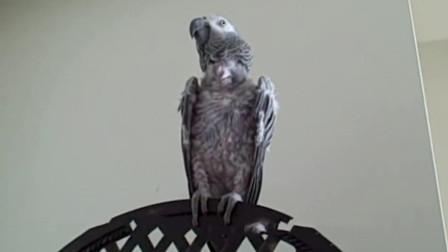 鹦鹉也会患忧郁症, 当它感到孤独时, 就会拔光身上的羽毛