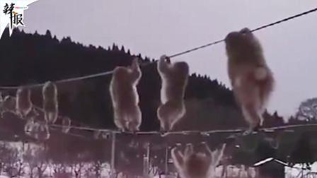日本猕猴集体走电线 偷菜怕被抓?