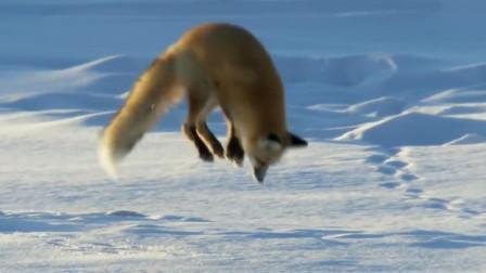 狐狸总想跳起把头钻进雪地里, 它要干什么? 知道真相的网友都惊呆了