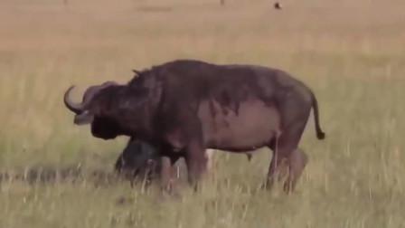 水牛被鬣狗群围攻, 多次向游客求救, 结果却让人心酸
