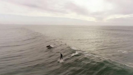 """嗅君葩闻 精彩瞬间! 美国西海岸一群海豚与冲浪者一起""""弄潮"""