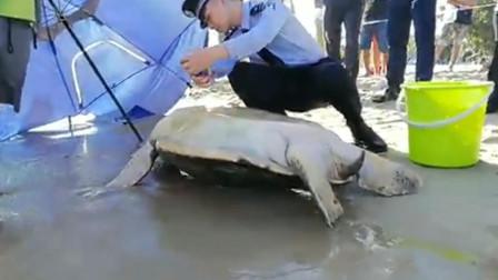 """海南三亚  暖心! 百岁巨型海龟沙滩""""遇险"""" 三亚多部门联合救助"""