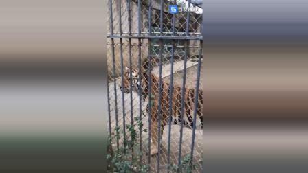 苏州动物园西伯利亚虎一家