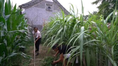 农村妯娌给甘蔗追肥, 大嫂嘴馋薅一棵想尝尝, 一入口就说味道不对