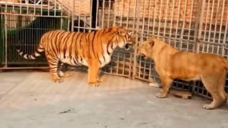 狮子和老虎的混战