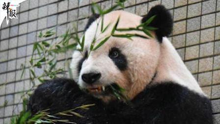 """首例! 赠台大熊猫""""团团""""戴上牙套"""