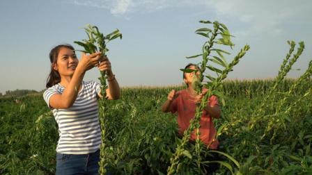 农村婆媳俩下地收芝麻, 先把叶子刷刷拿回家, 一举两得称心如意
