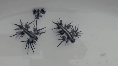 澳洲海边出现一种奇特动物, 被称为蓝色龙, 不能随意触碰