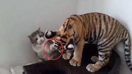老虎被猫打了一巴掌, 瞬间懵了, 网友: 这是完全没了威风啊