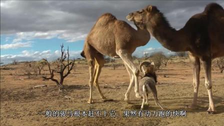 小公羊和骆驼争夺食物, 却差点被当做午餐吃掉, 看它如何化险为夷?