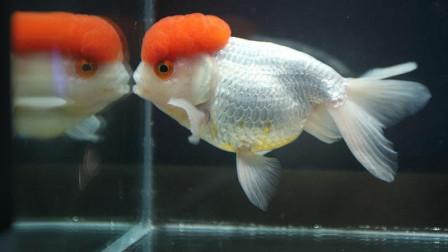 金鱼是国宝, 它是头顶红红的, 身上白白的, 背上没有鳍的……鹅头红