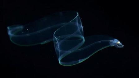 除了眼睛之外, 身体像玻璃一样透明的鱼类, 它是怎么生存的
