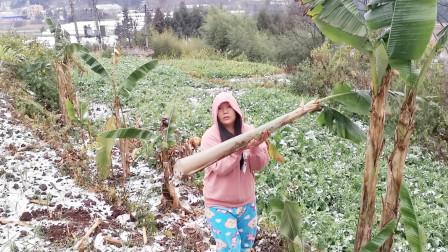 云南下雪了, 小水穿着水靴去地里砍芭蕉树来干嘛呢?