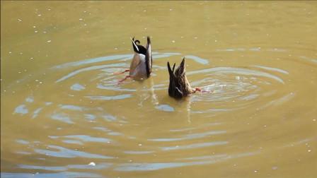 《水中觅食》