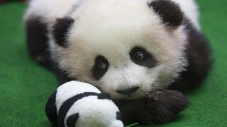 小熊猫懒得爬, 在地上团成一团挪啊挪, 看得心都要化了!