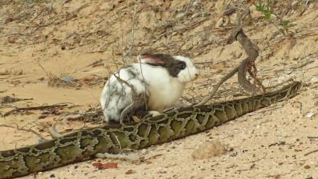 蟒蛇一路尾随野兔, 兔子也不慌不忙, 这蟒蛇是野兔请的保镖吗?