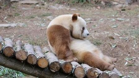 世界上仅剩一只的动物, 在陕西被发现, 现在在动物园被好吃好喝的伺候着