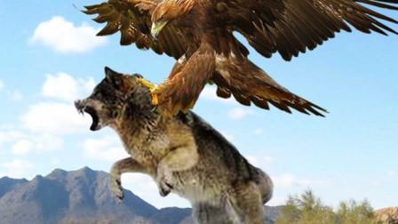 两只老鹰抓住一头大灰狼, 狼毫无抵抗之力, 镜头拍下全过程!