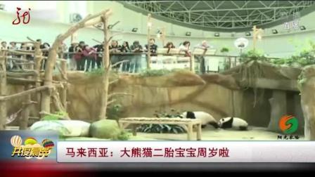 马来西亚:大熊猫二胎宝宝一周岁啦,饲养员为其特制生日蛋糕