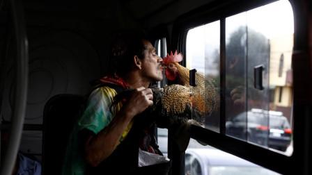 外国男子养公鸡做宠物, 带公鸡出门旅游, 还为死去的鸡举行葬礼!