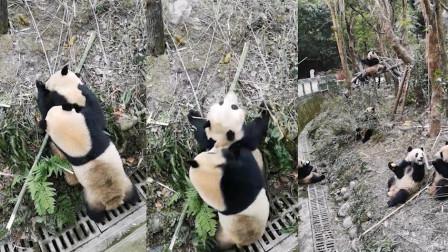 大熊猫疑因领地打架 基地: 已安排它们分开
